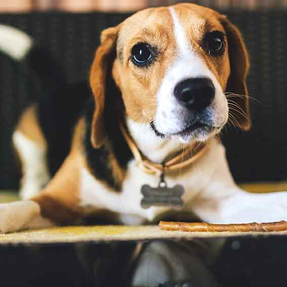 private dog training beagle